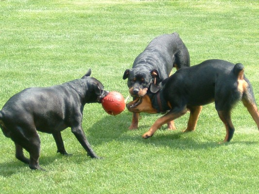 A pitbull playing tug of war against two rottweilers with a red ball.